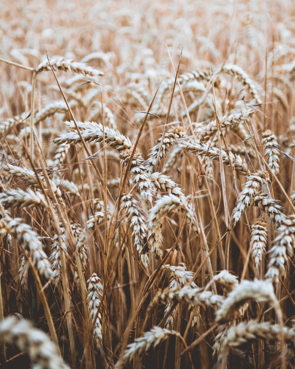 Weizen – als Brotgetreide ungeschlagen